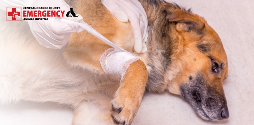 Your Emergency Vet Discusses Caring For Open Wounds